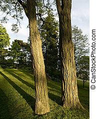 Two Trees - Two tree trunks at sunset with long shadows on...