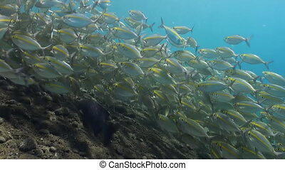 Large school of fish with yellow stripes on reef.