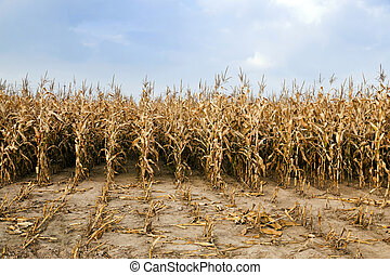 agricultural field with corn - an agricultural field on...