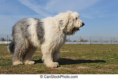 Old English Sheepdog - purebred Old English Sheepdog upright...