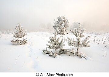 Spruce covered by frost