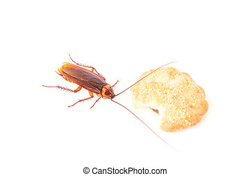 Cockroach eating a cookies on white background - Cockroach...