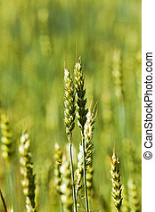 immature cereals , wheat - photographed closeup immature...