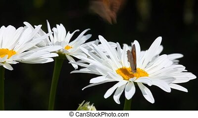 Butterflies on chamomile. - Butterflies on a large garden...