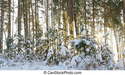 pine trees in the winter forest - Tall pine trees in the...