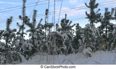 Nature in winter, small pine tree covered with snow
