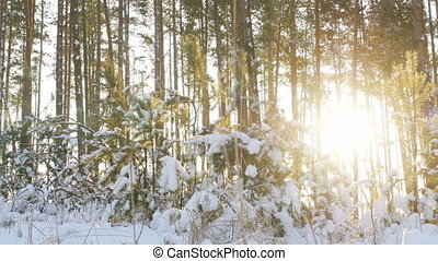 Tall pine trees in the winter forest with sun rays