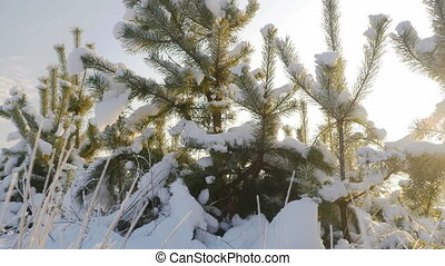 Nature in winter, small pine tree