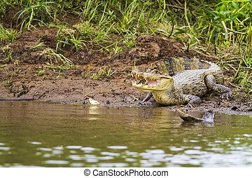kajman, (Caiman, crocodilus, fuscus), ,