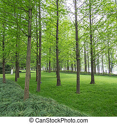 pine trees in a green field - group of solid old pine trees...