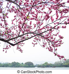 pink peach blossom flower tree along the lake - Beautiful...