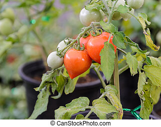 Heart-shaped tomatoes plant - Heart-shaped tomatoes on the...
