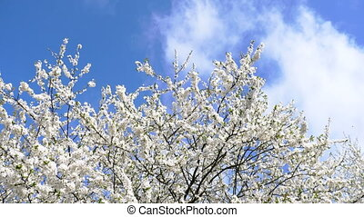 The branch of blossoming cherry sways in the wind