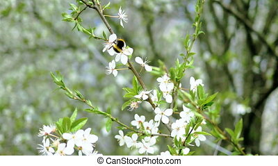 bumblebee is collecting nectar on white cherry flowers