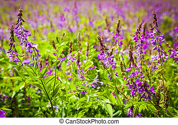 Violet flowers a bird vetch on a meadow