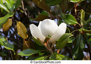 Branch with a flower of a white magnolia close up