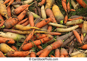 Carrot mix - classic orange, yellow, white and black -...