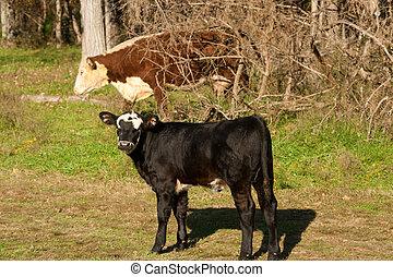 Black calf