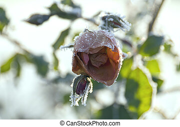 Ice Rose - Red rose covered with frost