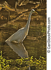Snowy Egret wading in a shallow pond