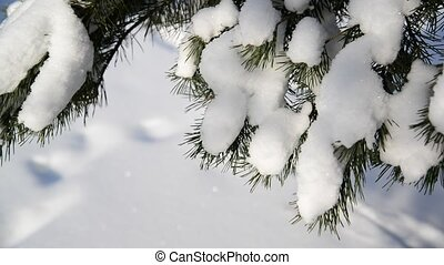 Snow is strewed with spruce branches in forest - Snow is...