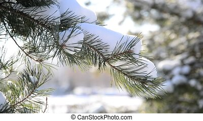 Pine branches in the winter forest - A Pine branches in the...
