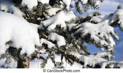 Snow-covered fir trees in winter forest - Snow-covered fir...