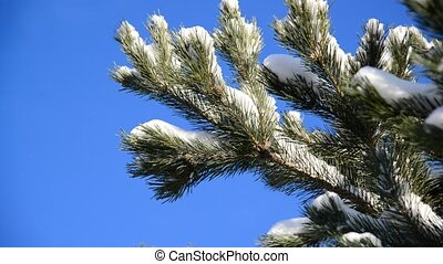 Snow-covered fir branches against blue sky - Snow-covered...