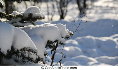 Snow-covered fir trees in winter park - Snow-covered fir...