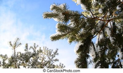 Snow-covered fir branches against  blue sky