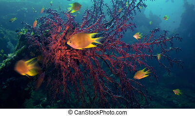 The red soft coral on the ocean floor and fishes Amazing,...