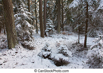 Winter view of natural forest with pine and spruces - Winter...