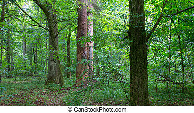 Natural mixed stand of Bialowieza Forest - Natural mixed...