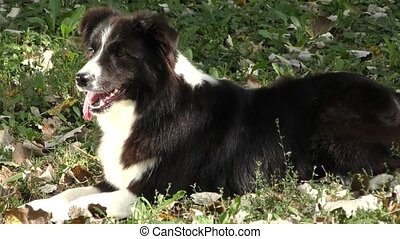 Dog breed Border Collie - Border Collie dog breed in the...