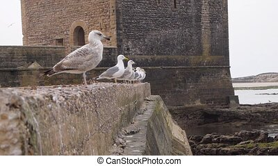 Sea gulls on a wall watching on ocean, Essaouira, Morocco
