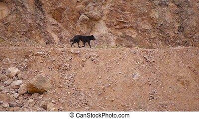 Shepherd dog running to the herd