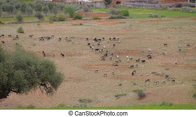 Flock of sheep grazing on a field of farmland in Morocco