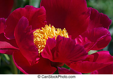 close up of vinous peony in garden