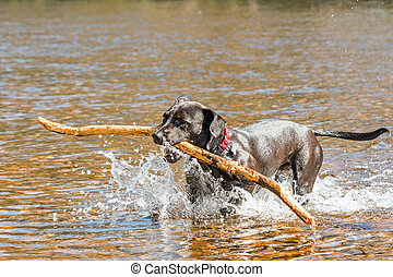 Happy black dog fetching a stick from the river