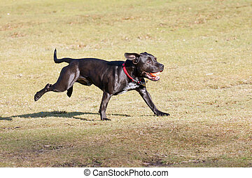 Happy black dog playing with a ball