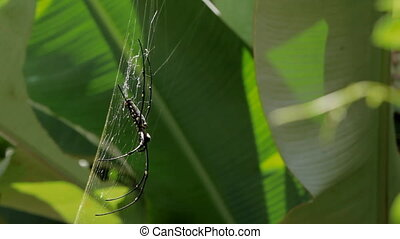 The Northern Golden Orb Weaver (Nephila pilipes) creating it's web, ventral side. Bali, Indonesia.