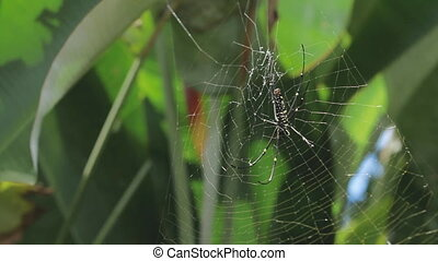 The Northern Golden Orb Weaver (Nephila pilipes) creating...