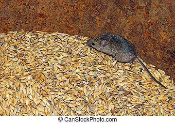 mouse on the wheat in the pantry - little grey mouse running...