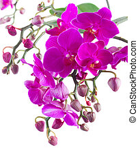 Bunch of violet orchids - Stems with violet orchid flowers...