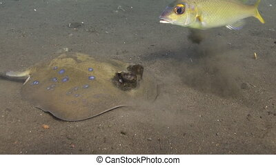 Spotted stingray on a sandy bottom in search food.