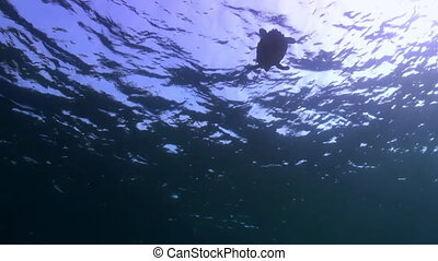 Turtle is immersed below the surface of the reef Amazing,...