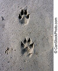 footprints - Dog footprints on wet sand