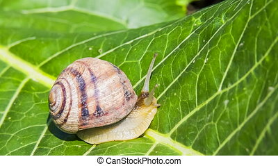 Snail Moving On a Green Leaf - Macro: snail is moving on a...