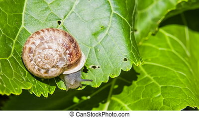 Close-up: Snail Eating Green Leaf - Close-up view: garden...