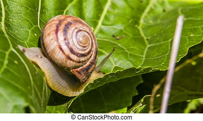 Snail Creeps On a Leaf - Snail is creeping on a green leaf...
